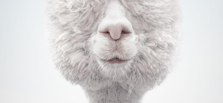 Alpaca 1 © 2017 Zack Seckler_web